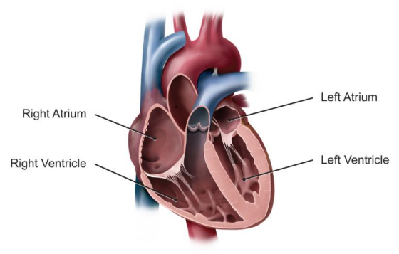 Medical illustration of a heart showing the left and right atria, which collect blood returning to the heart, and the left and right ventricles, which pump the blood away from the heart.
