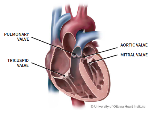 Learn About Your Heart Surgery - University of Ottawa ...