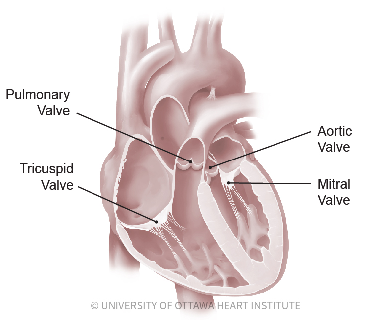 Heart Valve Disease - Ottawa Heart Institute