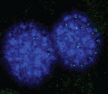 Two blue cell nuclei