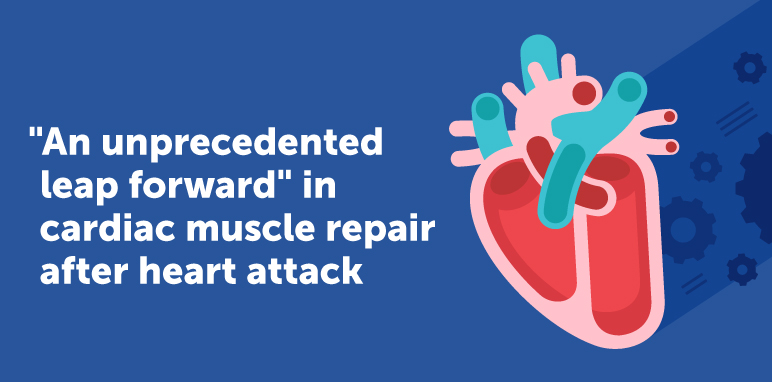 """An Unprecedented Leap Forward"" in Cardiac Muscle Repair After Heart Attack"