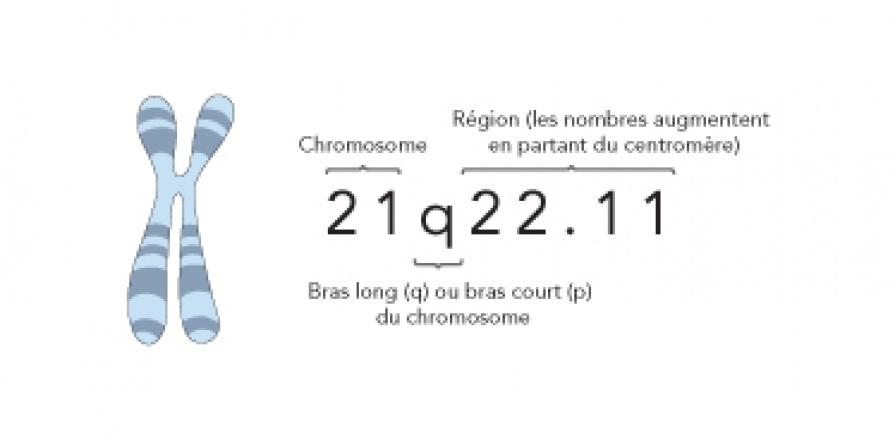 Hercheurs en génétique cardiovasculaire