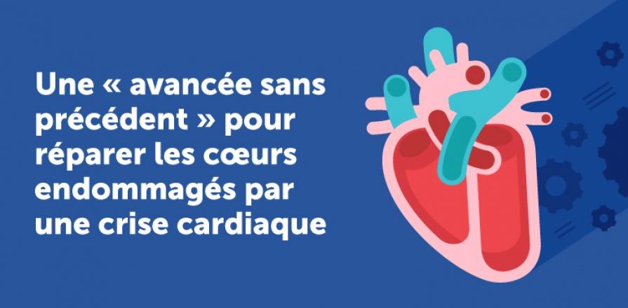 Une « avancée sans précédent » pour réparer les cœurs endommagés par une crise cardiaque